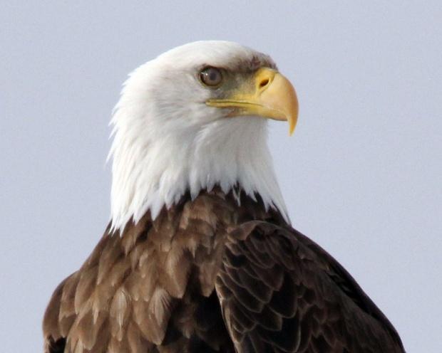 1 -American Eagle - R Van Alyne - 2014