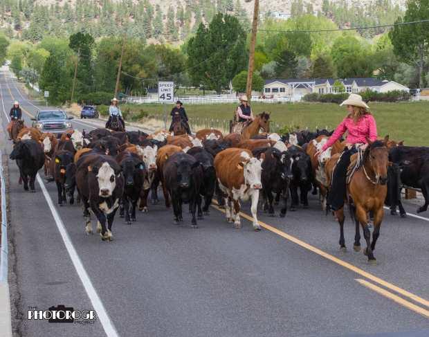 PHOTOROGR7934-Cattle-Drive-on-Genoa-Lane-w